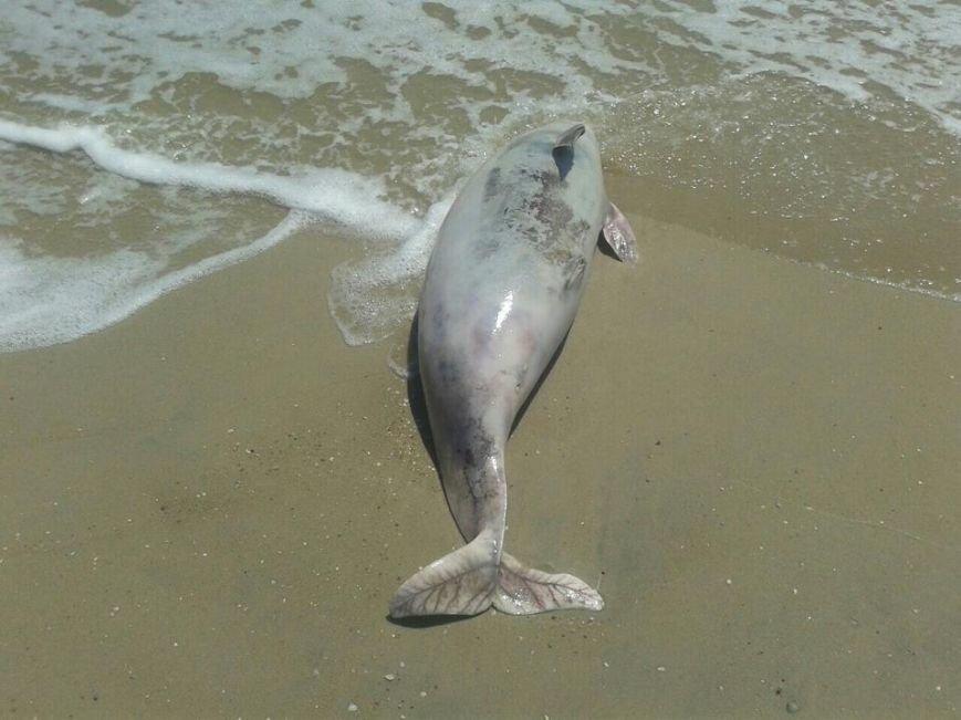 На побережье под Мариуполем  вынесло мертвого дельфина (ФОТО), фото-1