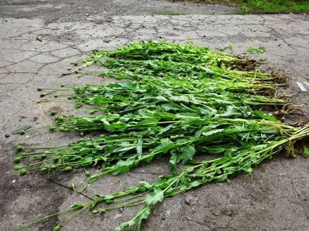 Житель Харьковщины выращивал у себя дома снотворный мак (ФОТО) (фото) - фото 1