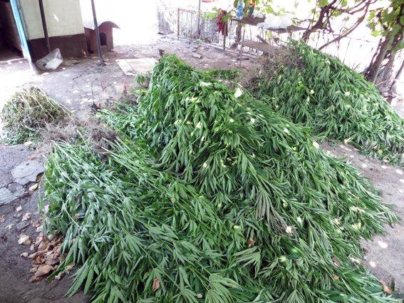 На Полтавщині жінка виростила конопляну плантацію (фото) - фото 2