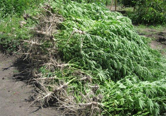 В Кировоградской области обнаружили небольшую плантацию конопли (фото) - фото 1