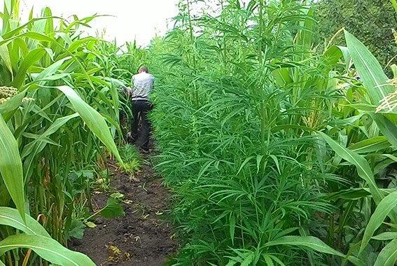 Пенсіонери Хмельниччини вирощують наркорослини (фото) - фото 1