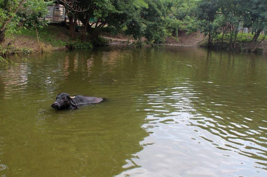 В Харьковском зоопарке буйволиха устроила заплыв с черными лебедями (ФОТО) (фото) - фото 1