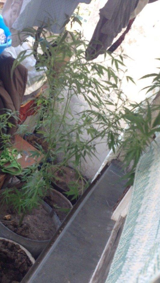 В Днепродзержинске продолжают изымать коноплю и марихуану (ФОТО) (фото) - фото 2