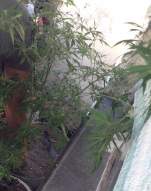 В Днепродзержинске продолжают изымать коноплю и марихуану (ФОТО) (фото) - фото 3