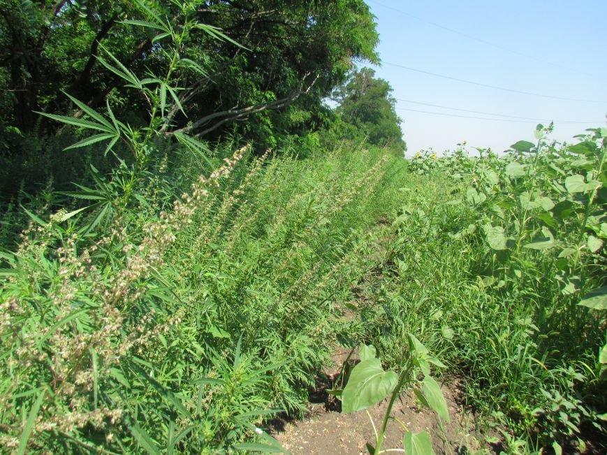 В районе Мариуполя обнаружены плантации конопли (ФОТО), фото-7