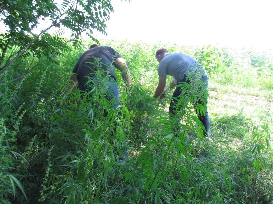 В районе Мариуполя обнаружены плантации конопли (ФОТО), фото-8
