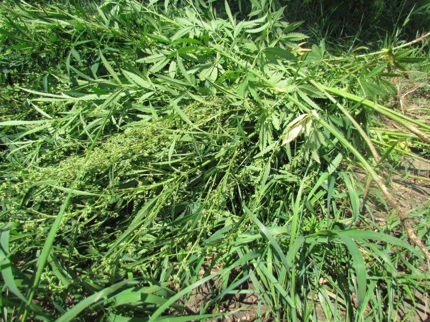 В районе Мариуполя обнаружены плантации конопли (ФОТО), фото-4