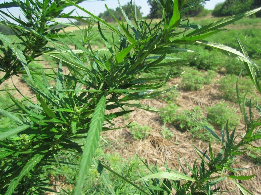 В районе Мариуполя обнаружены плантации конопли (ФОТО), фото-3
