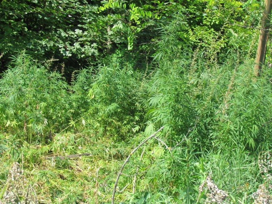 В районе Мариуполя обнаружены плантации конопли (ФОТО), фото-1