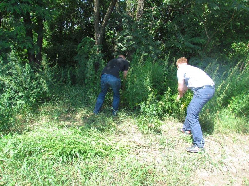 В районе Мариуполя обнаружены плантации конопли (ФОТО), фото-2