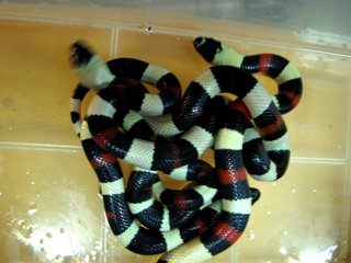 Детеныши молочных змей появились на свет в николаевском зоопарке (ФОТО) (фото) - фото 1