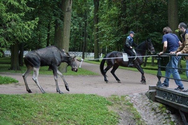 Заповедник «Царское Село» закрывал вход в парк, пока там гулял лось (фото) - фото 2