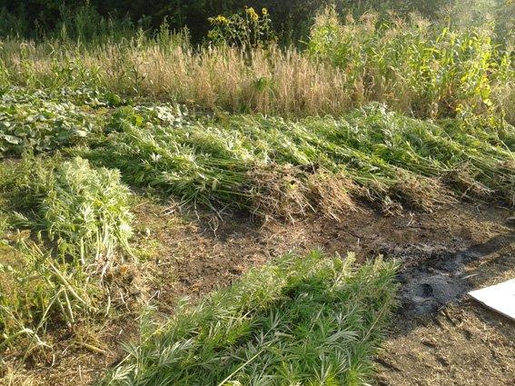 На Кіровоградщині правоохоронці вилучили більше 1300 кущів коноплі. ФОТО (фото) - фото 1