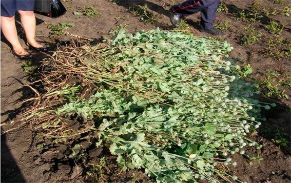 На Харьковщине пенсионер на приусадебном участке вырастил 250 кустов мака (ФОТО) (фото) - фото 1