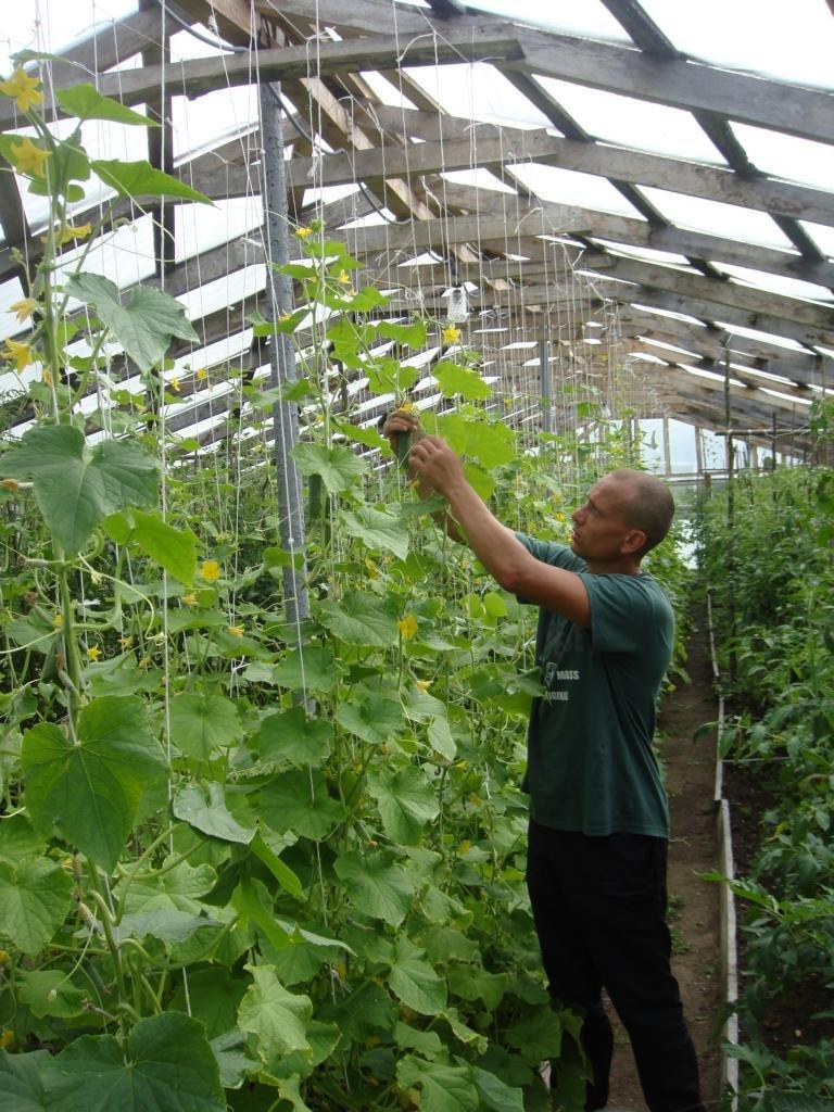 В установах виконання покарань області розпочато збір овочів (ФОТО) (фото) - фото 1