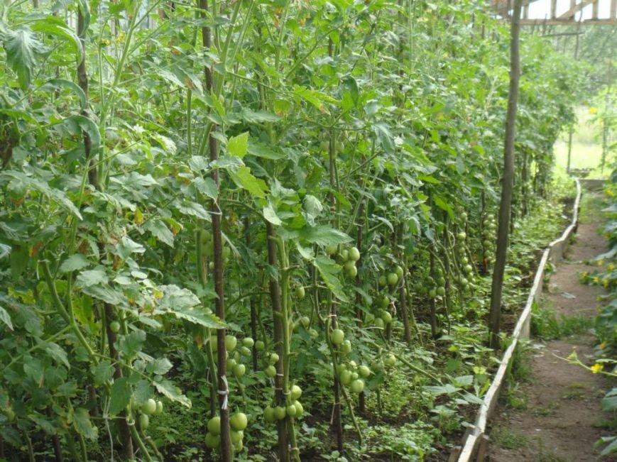 В установах виконання покарань області розпочато збір овочів (ФОТО) (фото) - фото 2