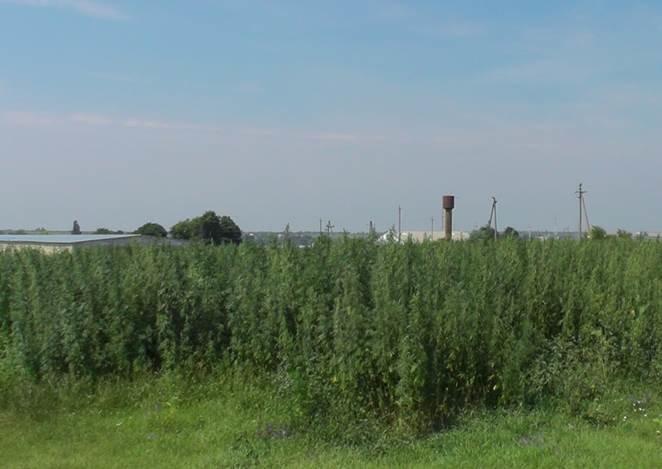 На Кіровоградщині СБУ виявила 10 гектарів конопляного поля (фото) - фото 1