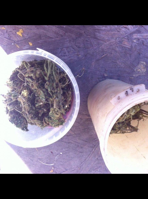 Днепродзержинец выращивал коноплю у себя в огороде (фото) - фото 3