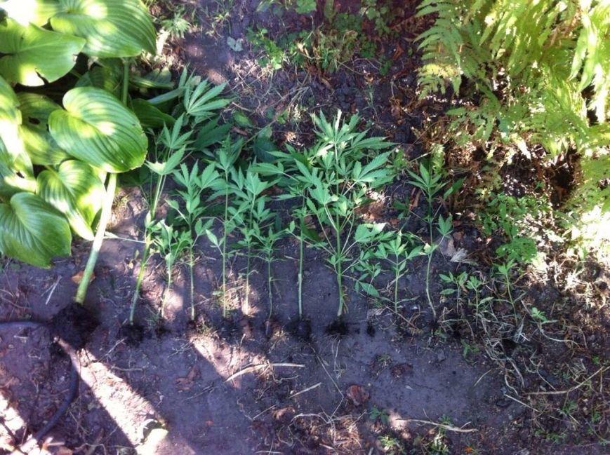 Днепродзержинец выращивал коноплю у себя в огороде (фото) - фото 4