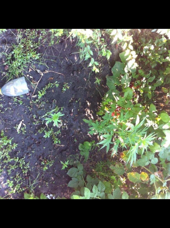 Днепродзержинец выращивал коноплю у себя в огороде (фото) - фото 5