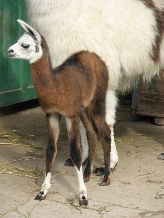 В зоопарке Николаева ламы обзавелись малышами (ФОТО) (фото) - фото 1