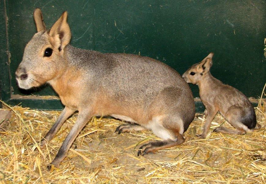 В Николаевском зоопарке патагонские мары впервые обзавелись потомством (ФОТО), фото-1