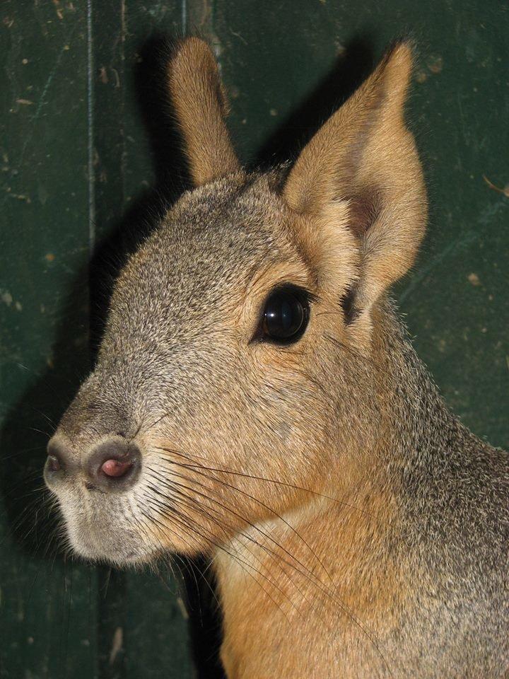 В Николаевском зоопарке патагонские мары впервые обзавелись потомством (ФОТО), фото-2
