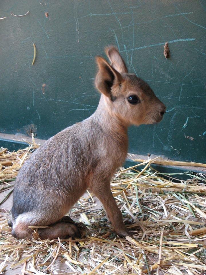 В Николаевском зоопарке патагонские мары впервые обзавелись потомством (ФОТО), фото-4