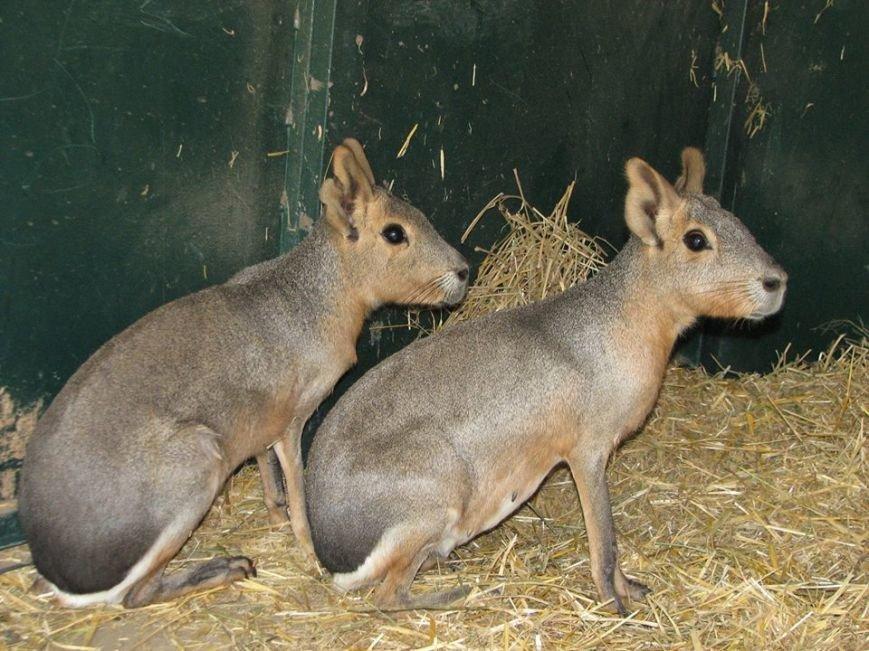 В Николаевском зоопарке патагонские мары впервые обзавелись потомством (ФОТО), фото-5