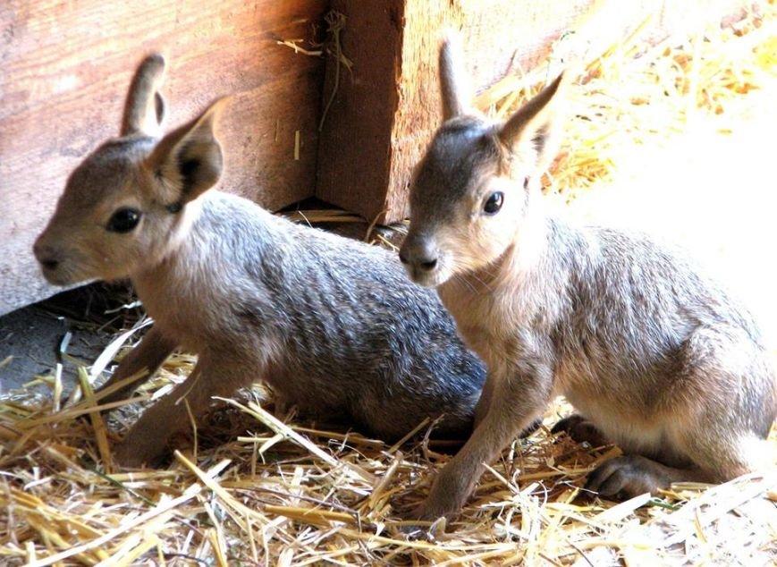 В Николаевском зоопарке патагонские мары впервые обзавелись потомством (ФОТО), фото-3