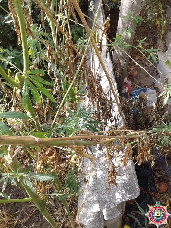 «Я не садила - ветром занесло», - у жительницы Славянского районе в огороде обнаружили 160 кустов конопли (фото) - фото 2