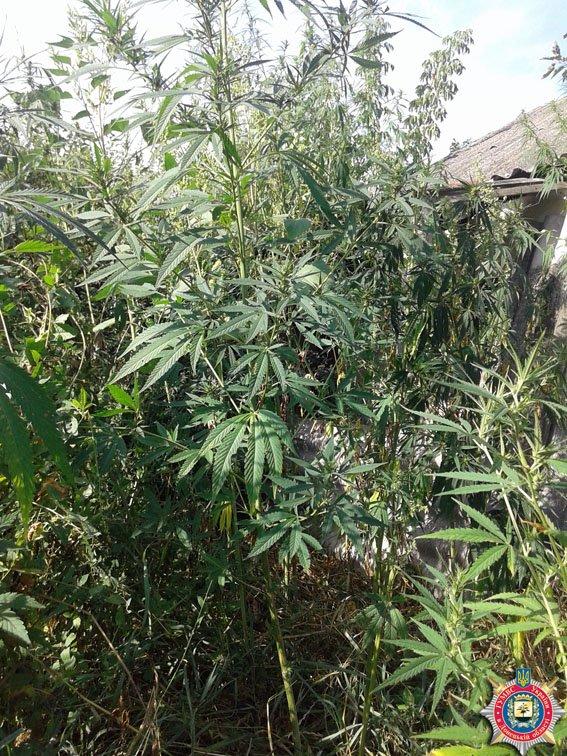 «Я не садила - ветром занесло», - у жительницы Славянского районе в огороде обнаружили 160 кустов конопли (фото) - фото 1