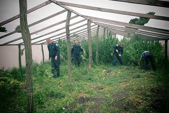 После черниговской милиции конопли не осталось (фото) - фото 1