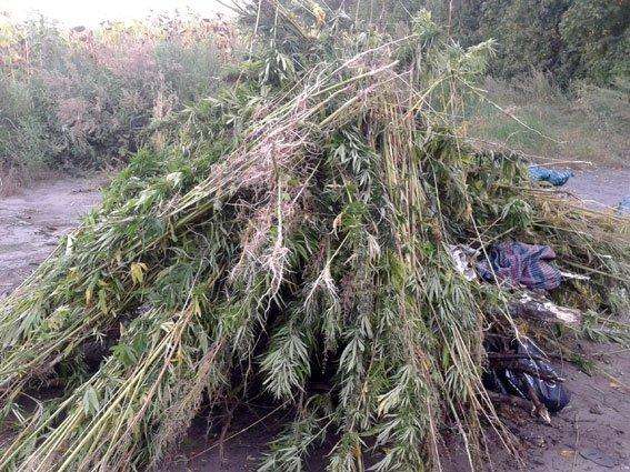 На Полтавщині нищили коноплі. Фото (фото) - фото 1