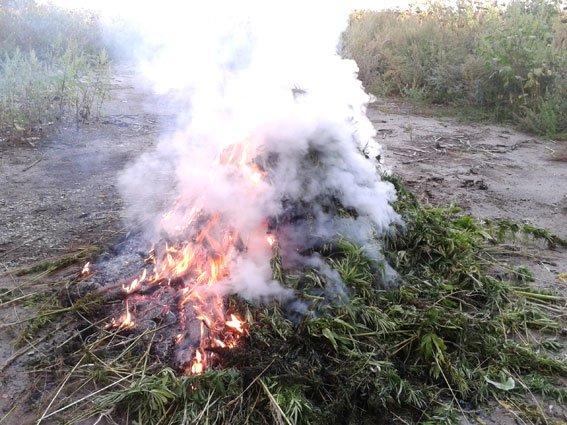 На Полтавщине ликвидировали поле конопли (ФОТО) (фото) - фото 1