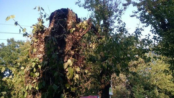 На проспекті Чорновола зріжуть здорові дерева (ФОТО) (фото) - фото 2