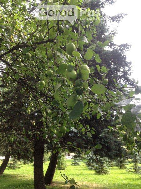 Гид по яблоневым садам в Пушкинском районе (фото) - фото 3