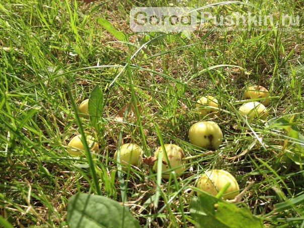 Гид по яблоневым садам в Пушкинском районе (фото) - фото 4