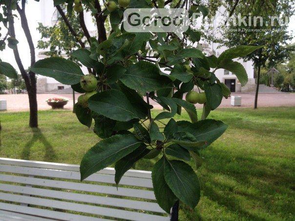 Гид по яблоневым садам в Пушкинском районе (фото) - фото 1