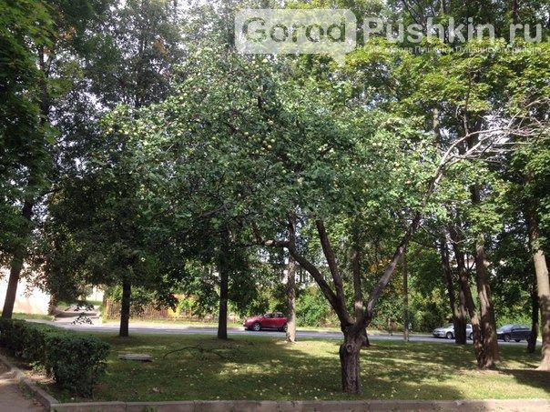 Гид по яблоневым садам в Пушкинском районе (фото) - фото 2