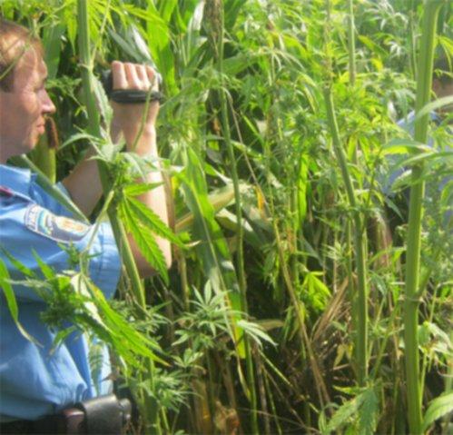 Працівники міліції викрили двох зловмисників, які займались заготівлею коноплі. ФОТО (фото) - фото 1
