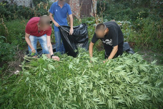 В Кременчуге молодой человек выращивал у себя в огороде двухметровую коноплю (ФОТО) (фото) - фото 1