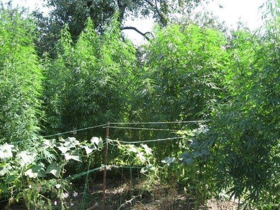 У Конотопському районі міліція знайшла плантацію коноплі (фото) - фото 1