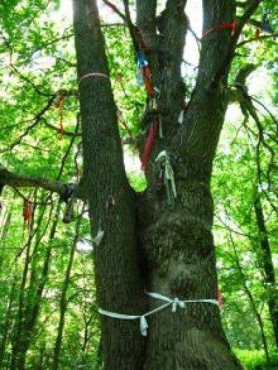 дерево6