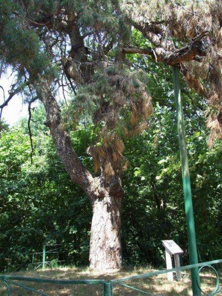 дерево5