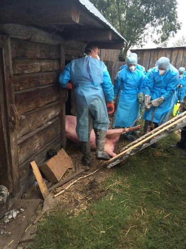 На Рівненщині борються із африканською чумою свиней (фото) - фото 3