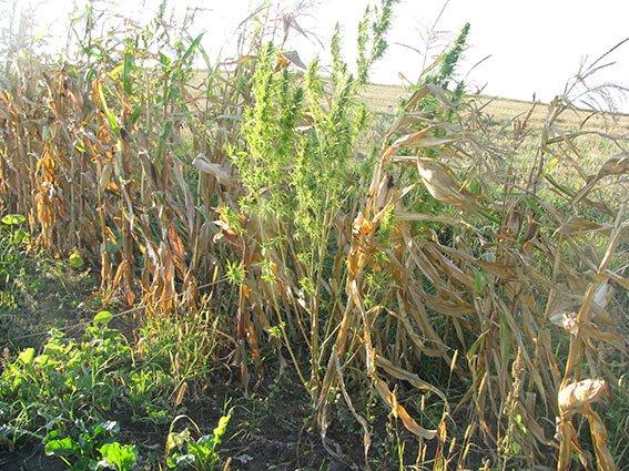 66-річний прикарпатець вирощував коноплю серед кукурудзи (ФОТО) (фото) - фото 3