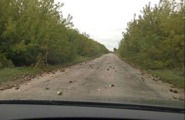 На Тернопільщині ями на дорогах «латають»... цукровими буряками, фото-2