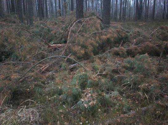 В Чернобыльской зоне неизвестные незаконно вырубали лес (ФОТО) (фото) - фото 1