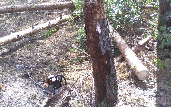 На Дубровиччині під час вирубки дерев загинув лісник (фото) - фото 1